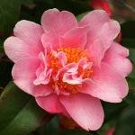 Camellia pitardii var. pitardii 'Sprite'