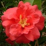 Camellia japonica 'St Andrè'