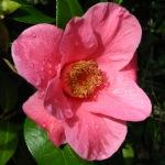 Camellia x williamsii 'St. Ewe'