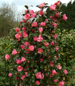 Camellia x williamsii 'St. Michael'