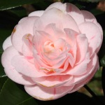 Camellia japonica 'Strawberry Blonde'