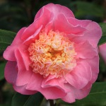 Camellia hybrid 'Sugar Dream'
