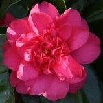 Camellia japonica 'Sunset Glory'