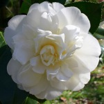 Camellia japonica 'Swan Lake' (Monrovia)