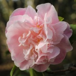 Camellia 'Sweet Emily Kate'