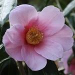 Camellia 'Tarokaja'