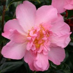 Camellia x williamsii 'Taylor's Perfection'