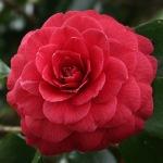 Camellia japonica 'Te Deum'