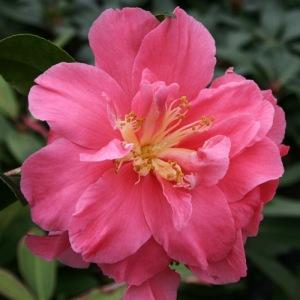 Camellia japonica 'Teresa Ragland'