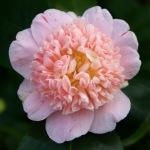 Camellia japonica 'Tinker Bell'