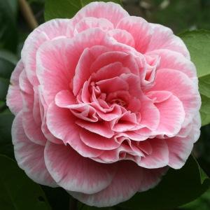 Camellia japonica 'Tomorrow's Dawn'