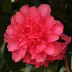 Camellia japonica 'Touchdown'