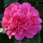 Camellia 'Tristrem Carlyon'