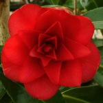 Camellia x williamsii 'Twinkle Star'