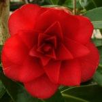 Camellia x williamsii 'Twinkle Star'