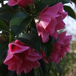 Camellia 'Valley Knudsen'