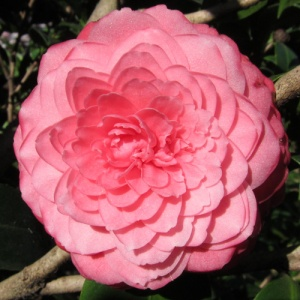 Camellia japonica 'Virginia Franco Rosea'
