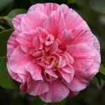 Camellia japonica 'Vittorio Emanuel II'