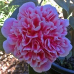 Camellia japonica 'Volunteer'