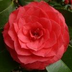 Camellia japonica 'Waiwhetu Beauty'
