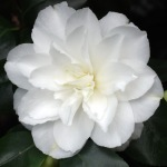 Camellia japonica 'Waterloo'