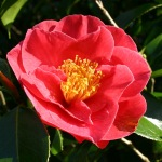 Camellia japonica 'Waverly'