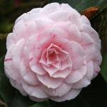 Camellia japonica 'William Bartlett'