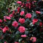 Camellia japonica 'William Bull'