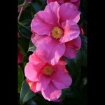 Camellia x williamsii 'William Carlyon'