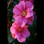 Camellia x williamsii 'William Carlyon'