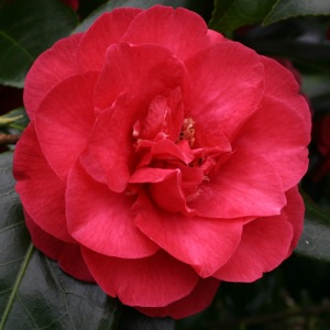 Camellia japonica 'Winter Cheer'