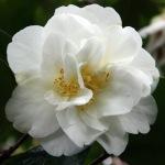 Camellia japonica 'Winter Morn'