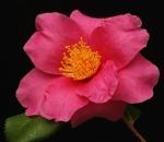 Camellia 'Winters Fire'