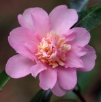 Camellia 'Winter's Interlude'