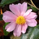 Camellia 'Winter's Rose'