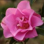 Camellia x williamsii 'Wynne Rayner'
