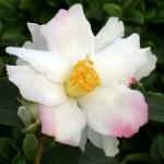 Camellia hybrid 'Yoimachi'
