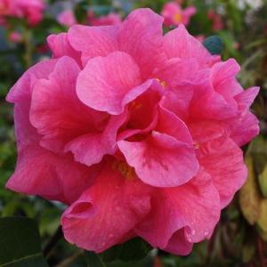 Camellia reticulata 'Yojimbo'