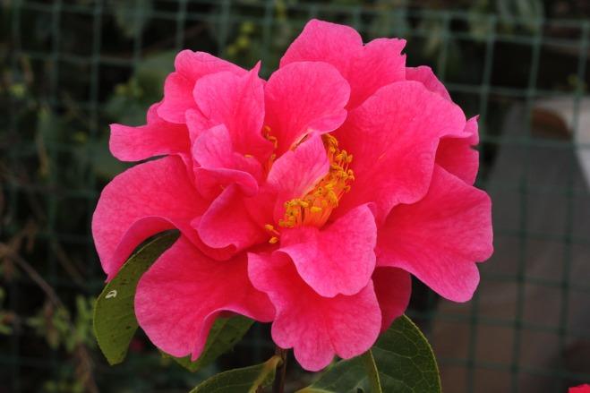 Camellia Yojimbo