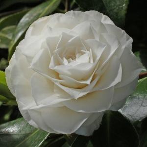 Camellia japonica Dian Hartman'