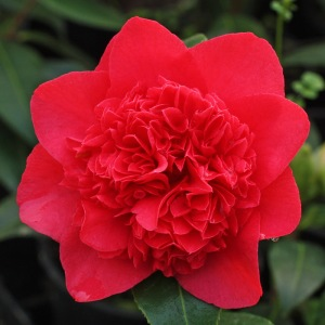 Camellia japonica 'Dolly Dyer'
