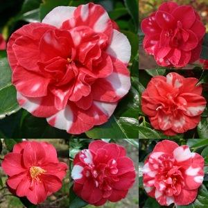 Camellia japonica 'Doncklaeri'