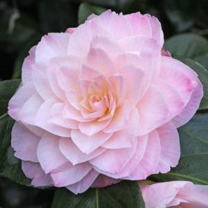Camellia 'Dorothy James'