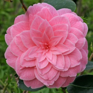Camellia x williamsii 'Dorothy Johnson'