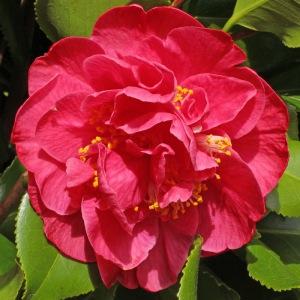 Camellia japonica 'Dr King'