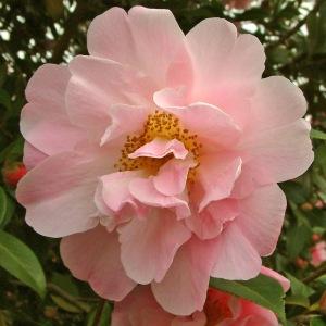 Camellia japonica 'Dr Louis Polizzi'