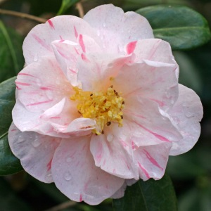 Camellia japonica 'Drama Girl Variegated'