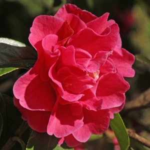 Camellia 'Dream Castle'