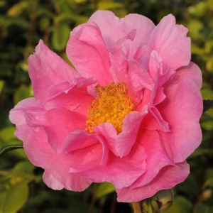 Camellia 'Dream Girl'