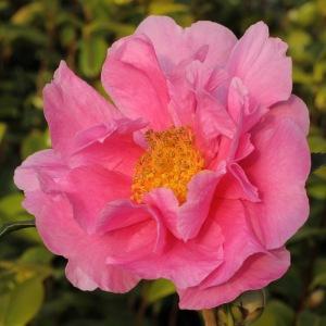 Camellia 'Dream Girl'